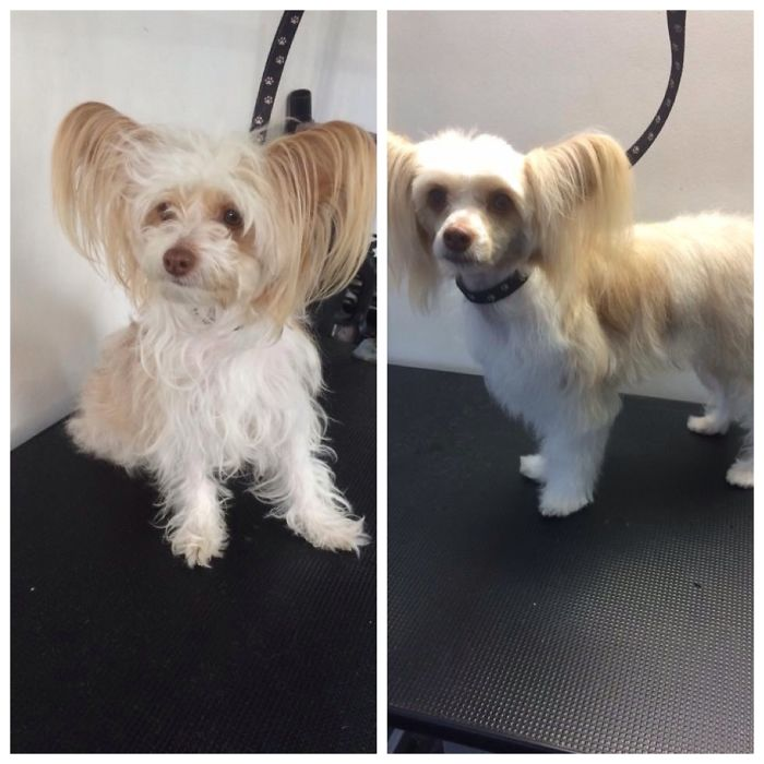 Chinese Crested Powder Puff, Before & After Her Hair Cut!