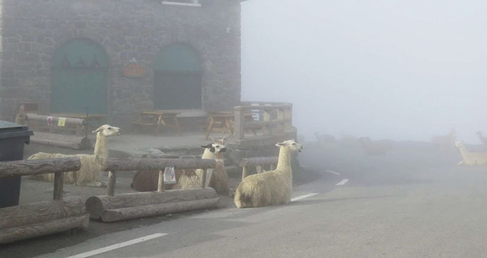 llamas-tour-de-france-col-du-tourmalet-2a