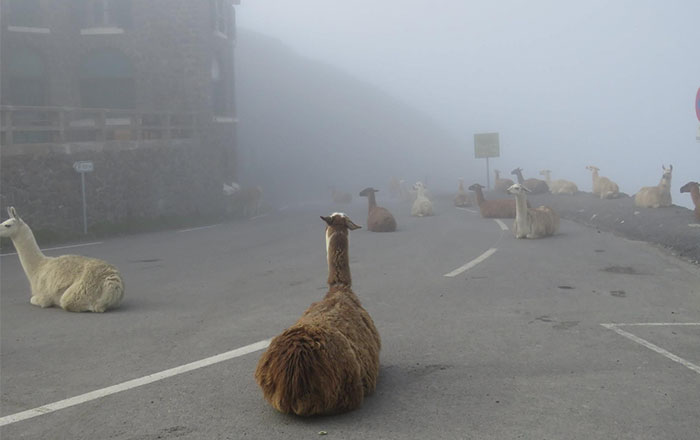 These Llamas Tried To Ruin The Tour-De-France And They're Not The First Animals To Do It