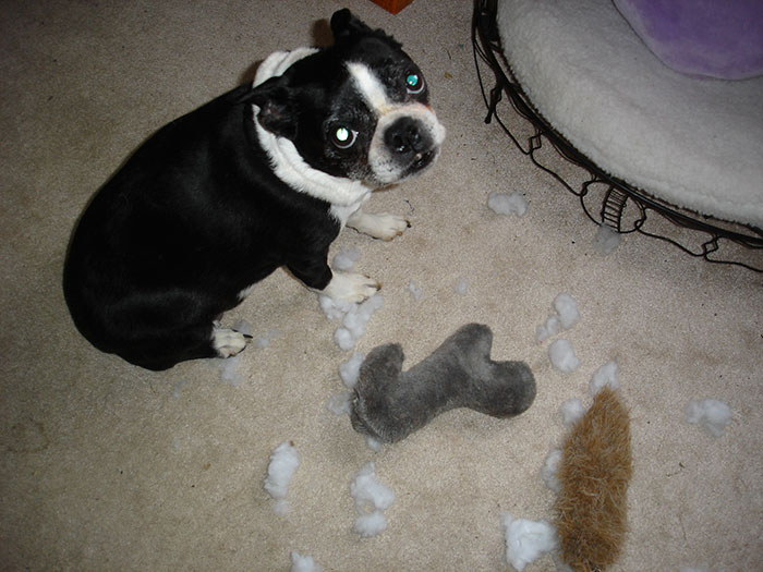 Photoshop This Photo Of My Boston Terrier Cricket And Show Us What Really Happened