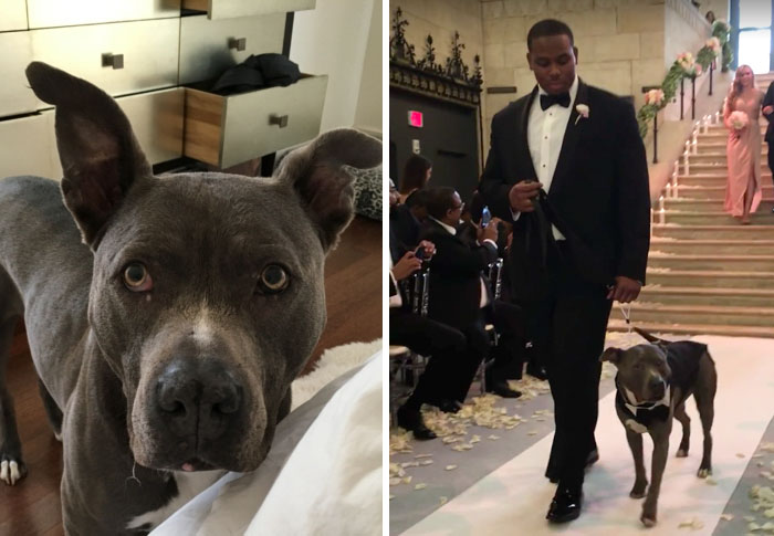pit-bull-wedding-nfl-player-ace-jeremy-zuttah-heran-haile-8