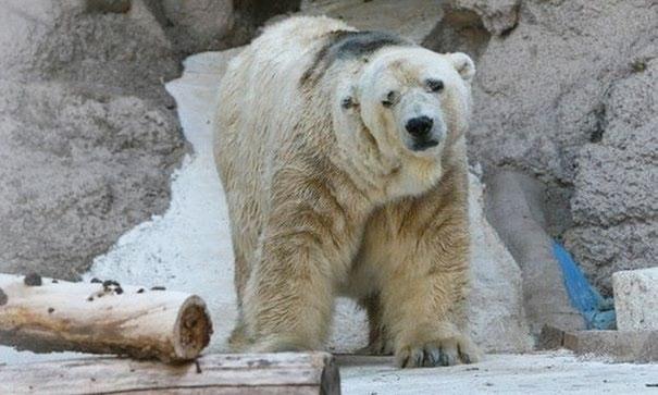 polar-bear-arturo-dies-mendoza-zoo-park-argentina-1