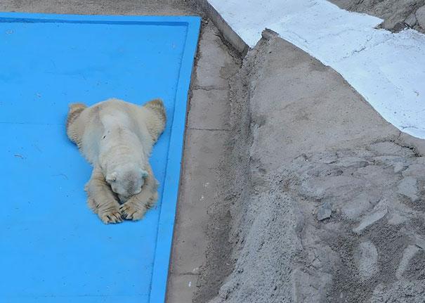 polar-bear-arturo-dies-mendoza-zoo-park-argentina-3