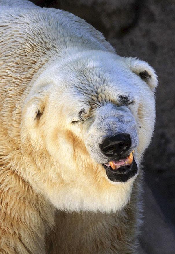 polar-bear-arturo-dies-mendoza-zoo-park-argentina-5