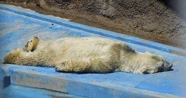 polar-bear-arturo-dies-mendoza-zoo-park-argentina-6
