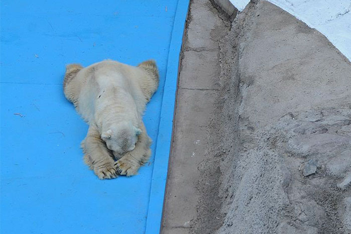 World's Saddest Polar Bear Dies After 22 Years In Argentina's Zoo