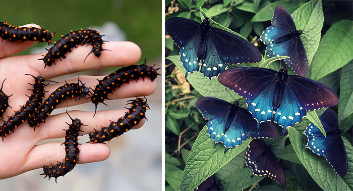 One Man Single-Handedly Repopulates Rare Butterfly Species In His Own Backyard