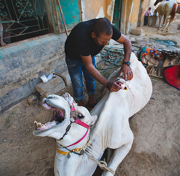 The Shocking Reality Of Horses And Camels In Egypt