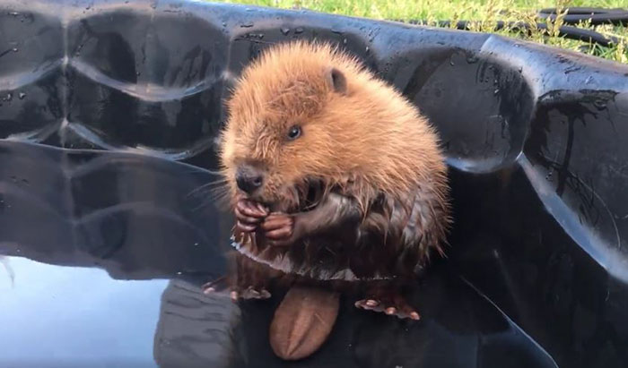 rescue-beaver-tail-orphan-canada-1