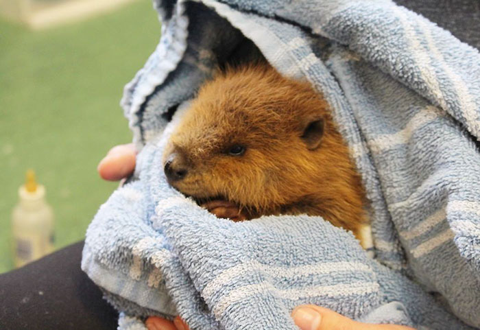 rescue-beaver-tail-orphan-canada-5
