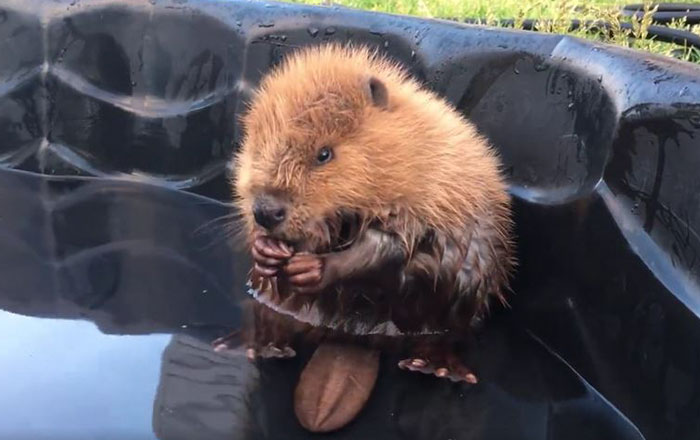 Orphaned Baby Beaver Can't Even Control His Own Tail And It's Just Too Cute