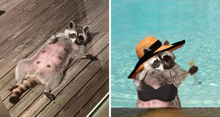 This Sexy Raccoon Is Inviting You To Accept The Photoshop Challenge
