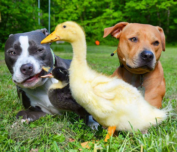 inusual-animales-amistad-dogs-cat-patos-Kasey-y-su-pack-30