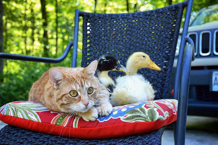 unusual-animal-friendship-dogs-cat-ducks-kasey-and-her-pack-46