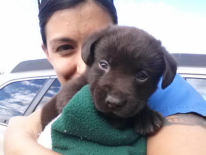 vet-rescued-chocolate-labrador-retriever-puppy-bronson-kaffekalle-16