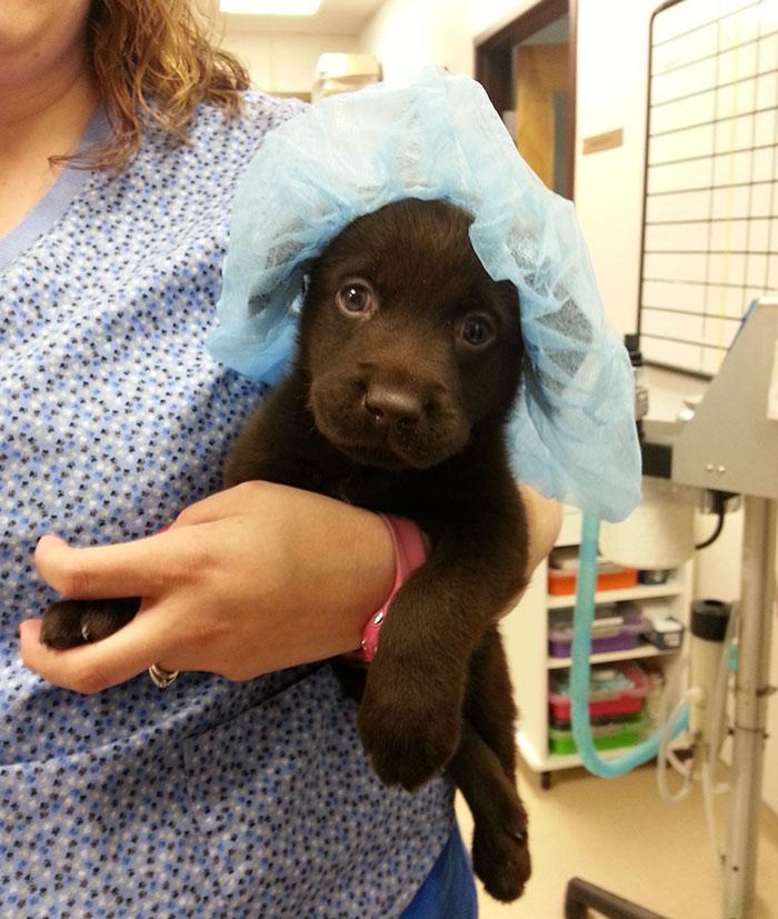 vet-rescued-chocolate-labrador-retriever-puppy-bronson-kaffekalle-20