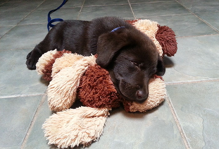vet-rescued-chocolate-labrador-retriever-puppy-bronson-kaffekalle-24