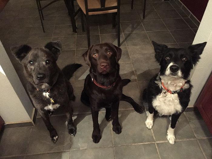 vet-rescued-chocolate-labrador-retriever-puppy-bronson-kaffekalle-43