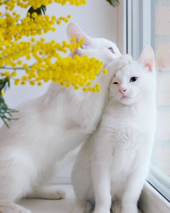 Meet The Most Beautiful Twin Cats In The World