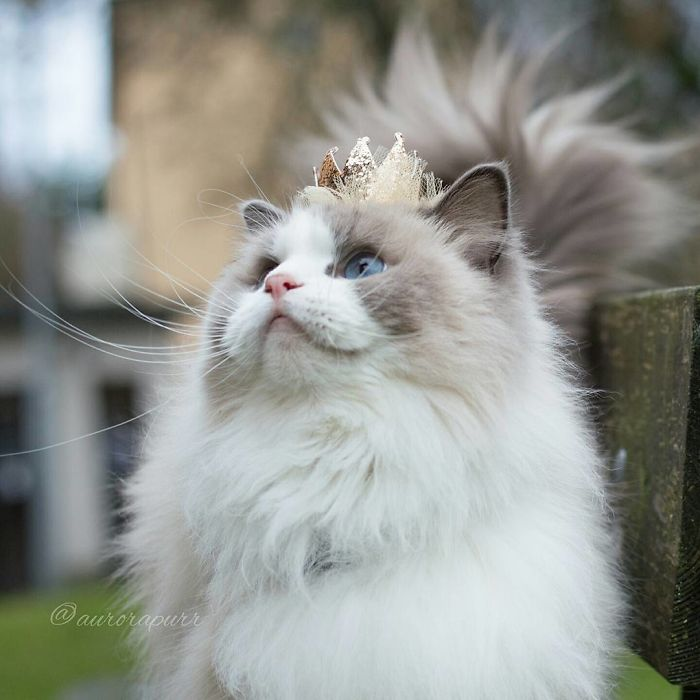 Meet Aurora The Fluffy Cat Princess Bored Panda - 25 of the fluffiest cats ever