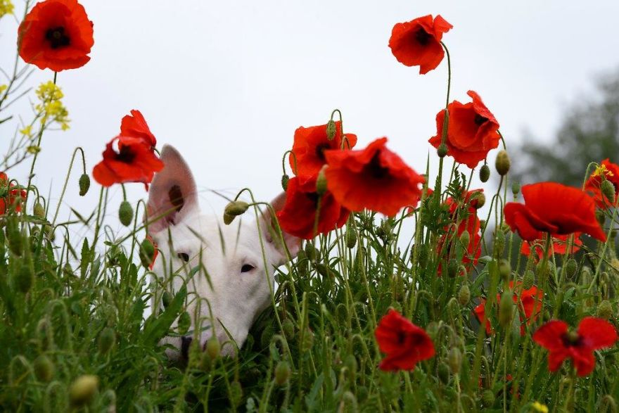 Meet Claire, My Bull Terrier Who Loves To Pose In Flower Fields