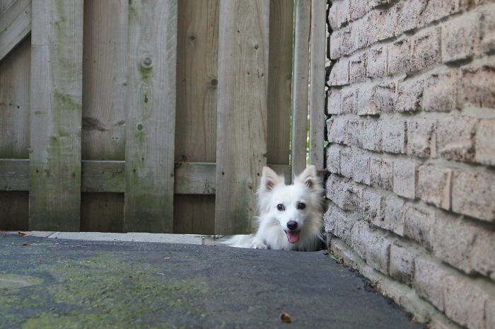 Lucy The American Eskimo Says Hi To Everyone That Walks By. Rob Spicer