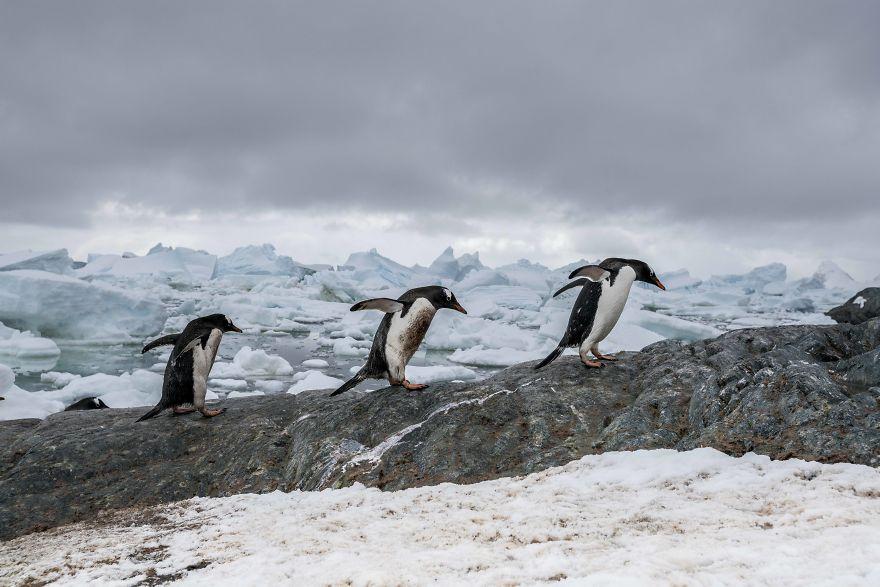 D'un pingouin à l'autre How-Antarctic-Penguins-adapt-to-climate-change-57c6b6ed72efd__880