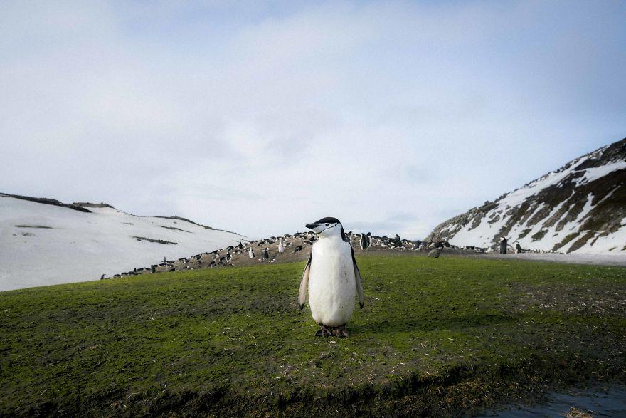 D'un pingouin à l'autre How-Antarctic-Penguins-adapt-to-climate-change-57c6b96b30ab4__880