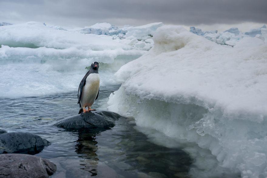 D'un pingouin à l'autre L1001847-57c6a6b28101e__880
