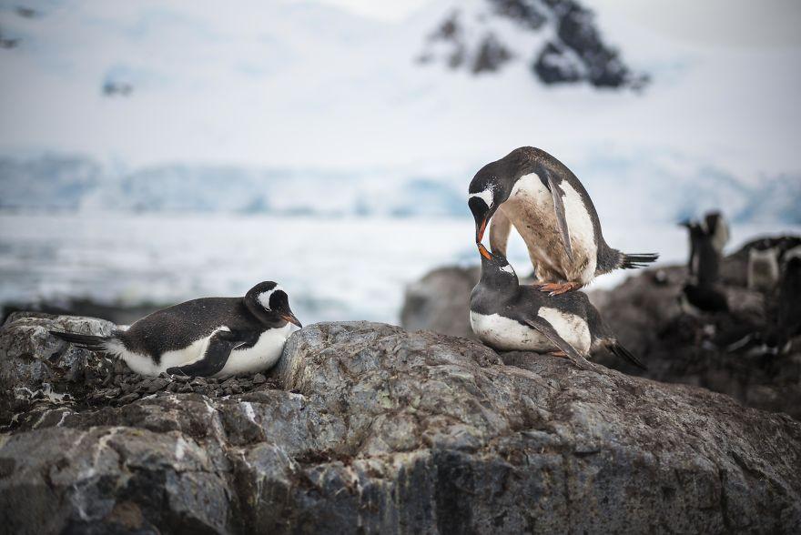 D'un pingouin à l'autre L1002342-57c6a62a90385__880