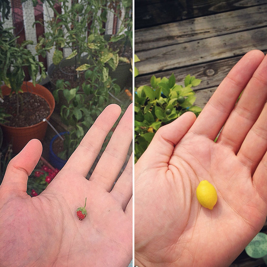 Not Trying To Brag, But I've Got Strawberries Growing As Big As Lemons Over Here
