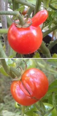 Sexy-organ-tomatos-57b305c694fc4.png