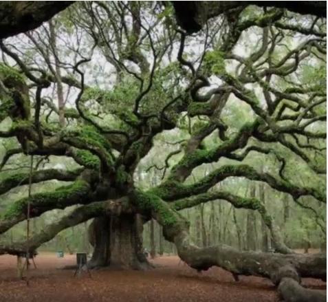 South-Carolina-tree-57ad34261c980.png