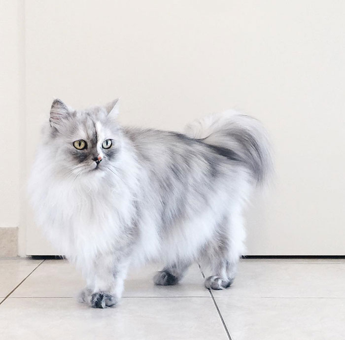 adopted-cat-fur-persian-halloalice-30
