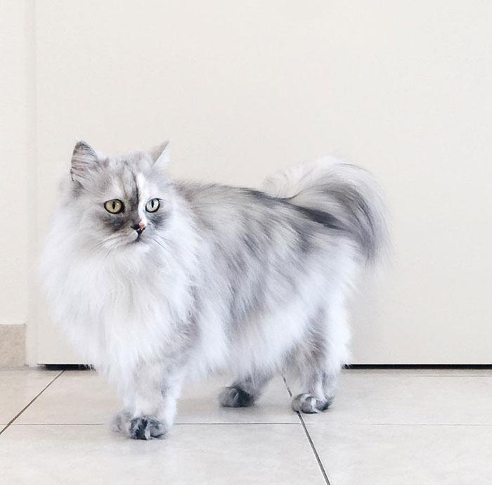 adopted-cat-fur-persian-halloalice-30