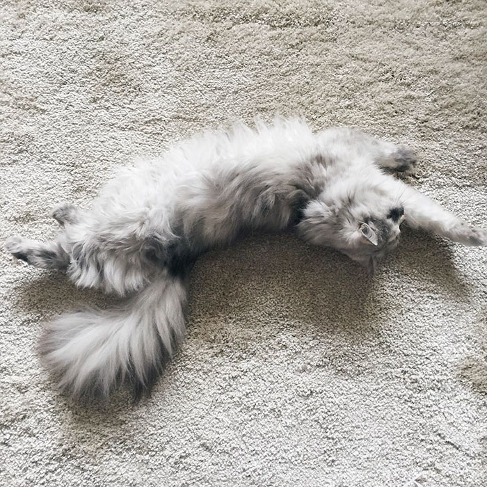 adopted-cat-fur-persian-halloalice-34