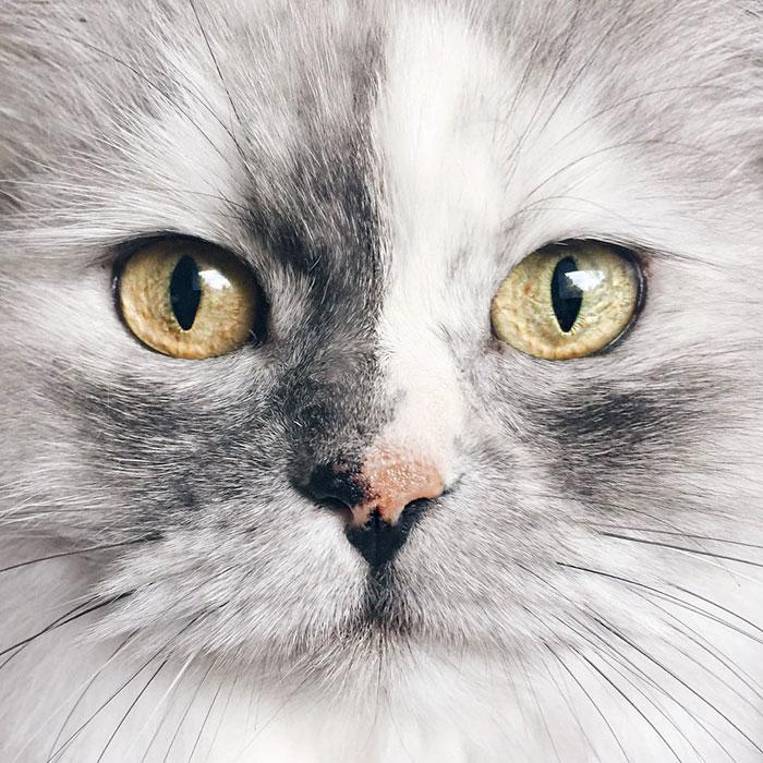 adopted-cat-fur-persian-halloalice-43