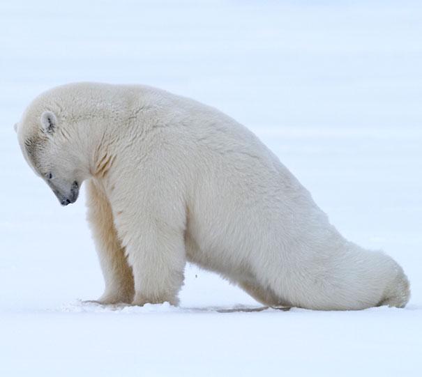 Polar Bear Plank