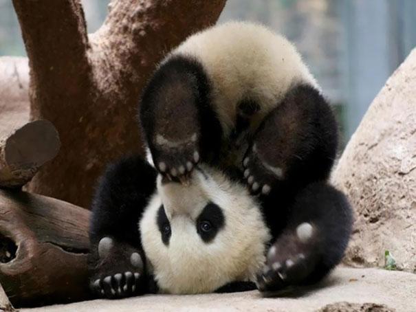 If Pandas Can Do It