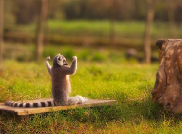 Lemur Doing Yoga