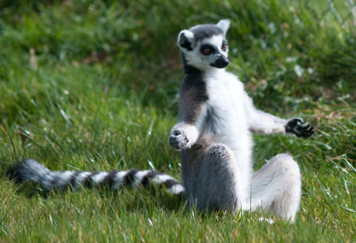 Lemur In Half Lotus Pose