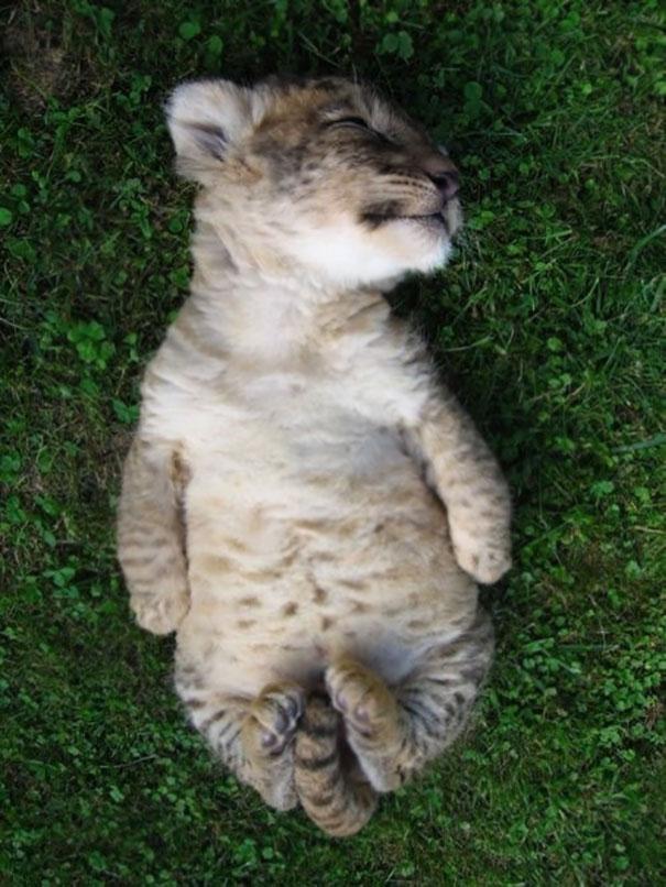 Little Lion Cub Doing Savasana