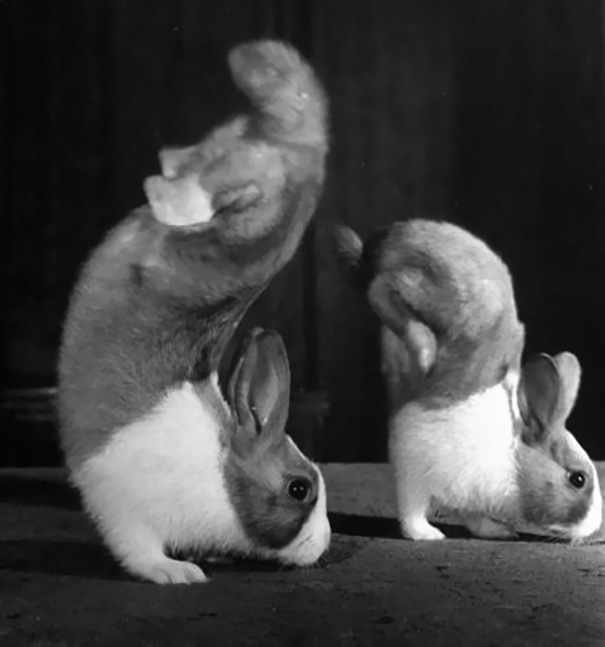 Rabbits Junior And Mr. Walker Famous For Their Handstand