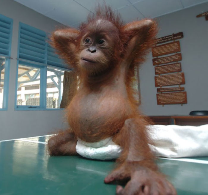 Seven Month Old Baby Orangutan Morning Yoga