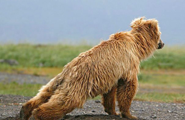 Bear Plank Pose