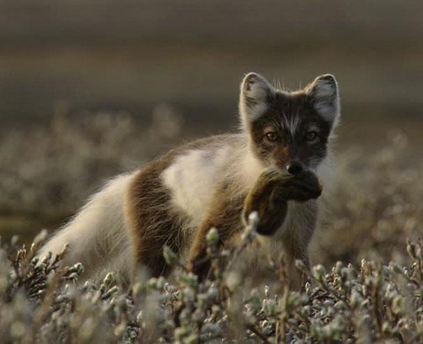 arctic-foxes-grow-garden-alaska-3