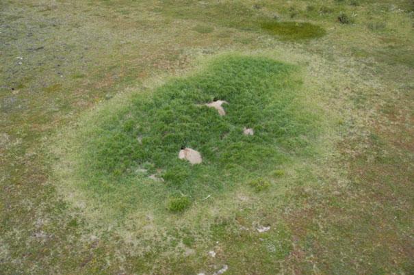 arctic-foxes-grow-garden-alaska-8
