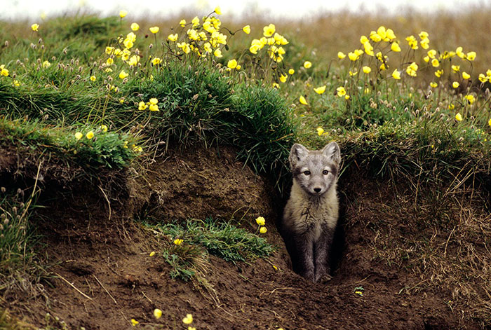 Arctic Foxes 'Grow' Their Own Gardens And They Look Beautiful