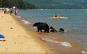 Mama Bear Takes Her 2 Cubs For A Swim In California In The Middle Of The Day