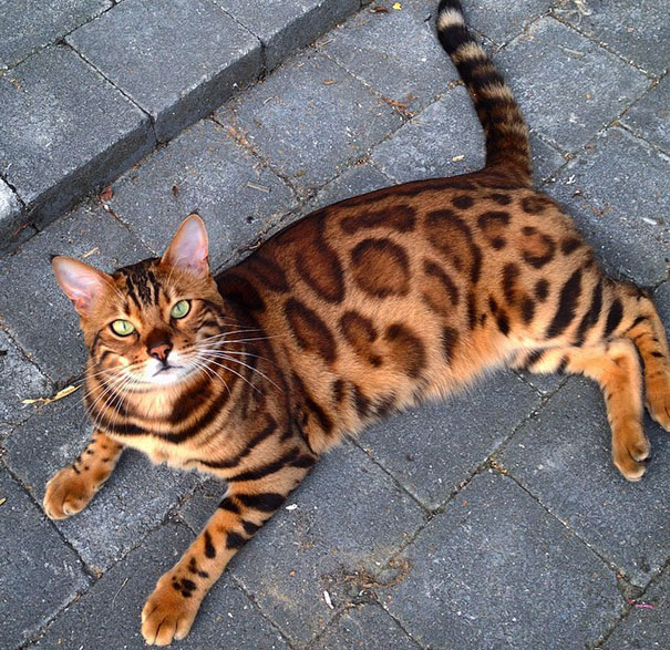bengal-cat-spots-fur-thor-15